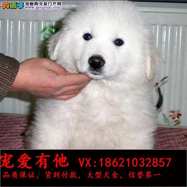 高品质的大白熊 出售了 疫苗做完 质量三包
