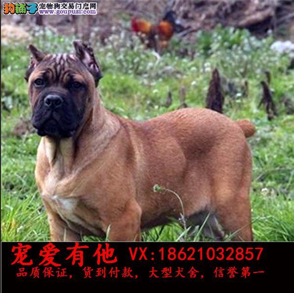 高品质的卡斯罗 幼犬出售了 疫苗做完 质量三包