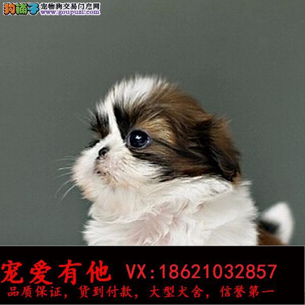 高品质的西施犬 幼犬出售了 疫苗做完 质量三包