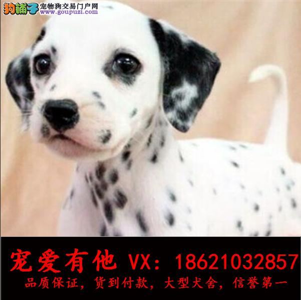 高品质的大斑点 幼犬出售了 疫苗做完 质量三包