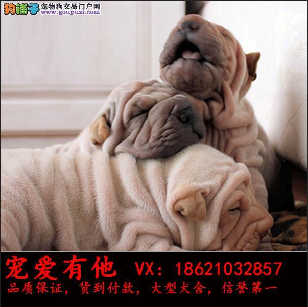 高品质的沙皮幼犬出售了 疫苗做完 质量三包