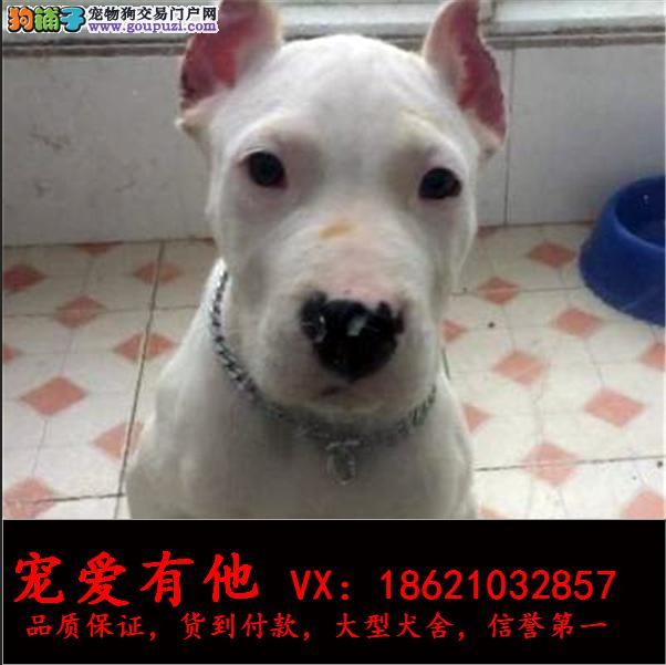 高品质的杜高 幼犬出售了 疫苗做完 质量三包