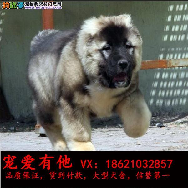 高品质的高加索 幼犬出售了 疫苗做完 质量三包