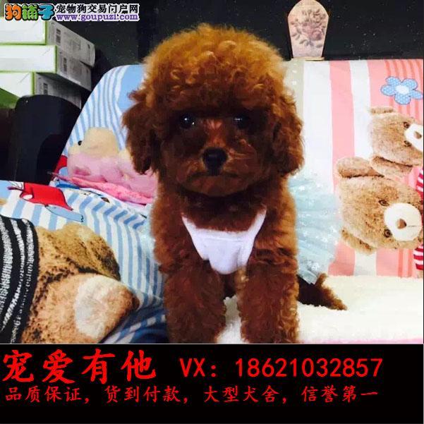 超萌泰迪幼犬高端品质有多个品种疫苗打好