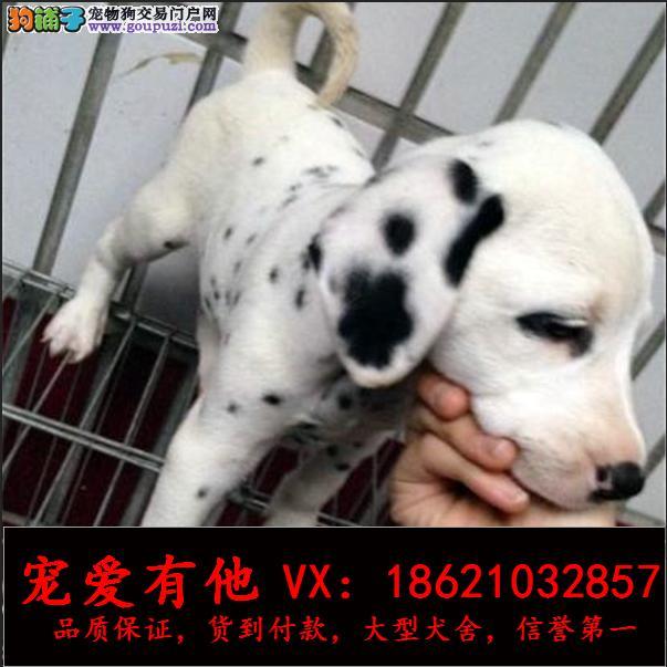 高品质的斑点 幼犬出售了 疫苗做完 质量三包