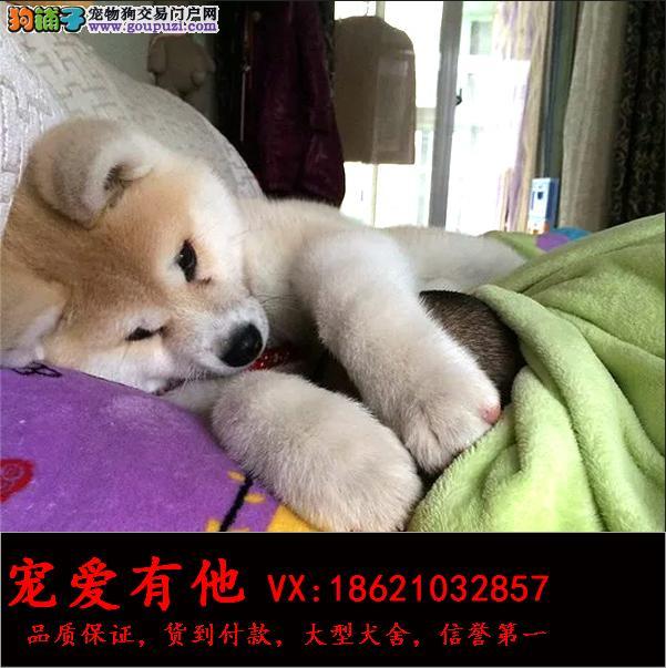 高品质的秋田幼犬出售了 疫苗做完 质量三包