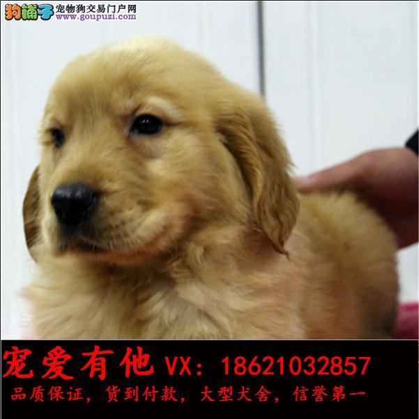 高品质的金毛幼犬出售了 疫苗做完 质量三包