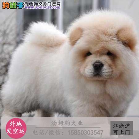 高品质的伯恩山幼犬出售了疫苗做完质量三包
