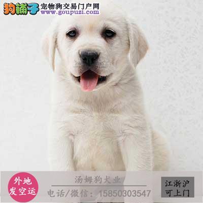纯种(拉布拉多)幼犬出售。导盲犬包纯种健康