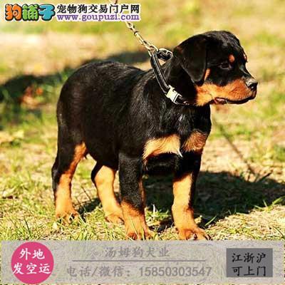 工作犬 防暴犬 大型护卫犬 这就是罗威纳,双血统