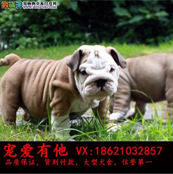 CKU纯种双血统(英牛幼犬)出售。假一赔十