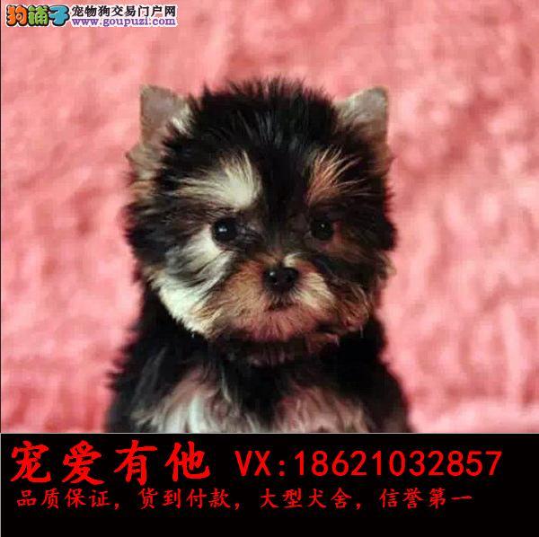 专业繁殖(约克夏幼犬)可来基地挑选。签协议保健