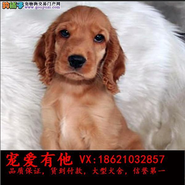 犬舍直销一精品可卡犬一签协议一包养活一三个月