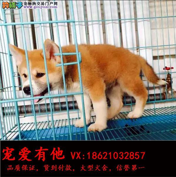 柴犬 专业繁殖 只售精品 签协议售后包三年