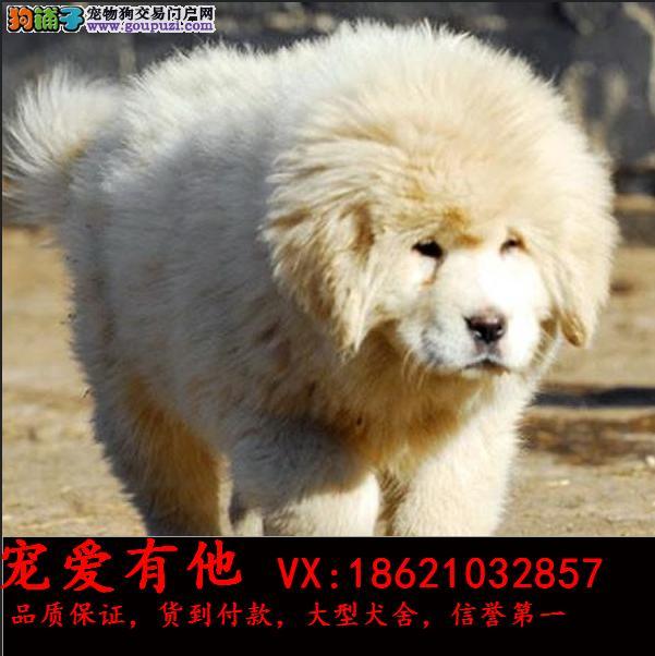 纯种大骨量大白熊幼犬 王者风范 品相纯正保证健