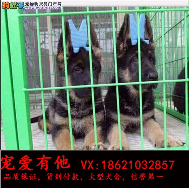 买德国牧羊犬 签订质保协议 纯种保终身 免费送