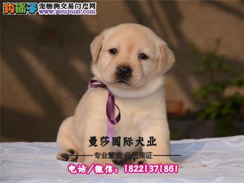 阿拉斯加幼犬出售保纯种保健康可上门