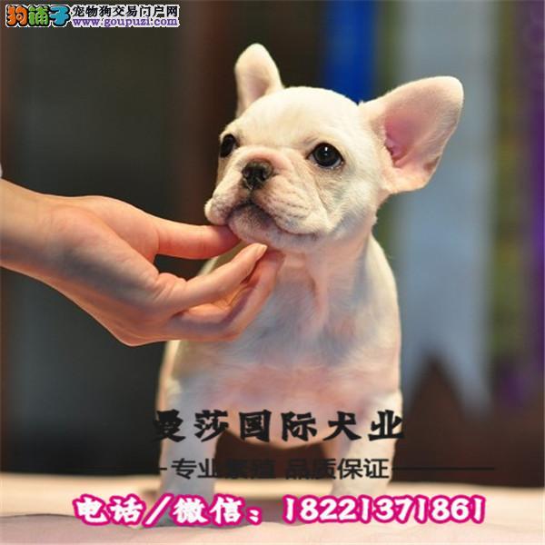 英国斗牛犬,专业繁殖出售赛级双血统英斗幼犬,颜