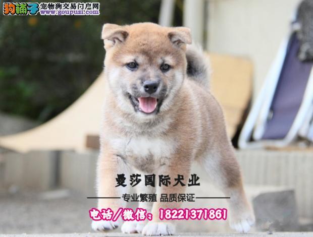 纯种日系柴犬幼犬出售 签协议包健康 包纯种