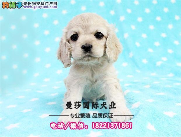 高端贵族萌宠小体马尔济斯犬在售 上门做客签质保