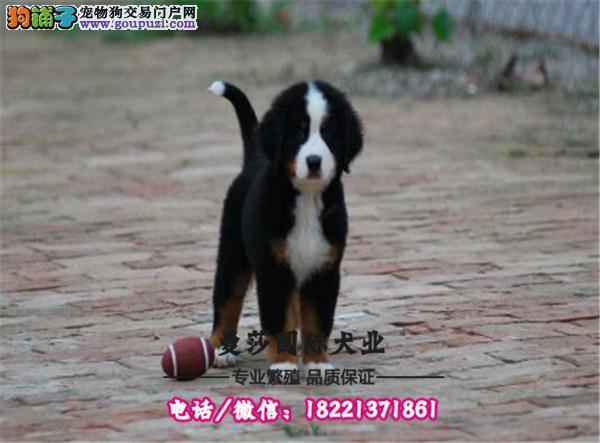 柴犬大脸网红狗、引进日系种犬自家繁殖纯种健康包