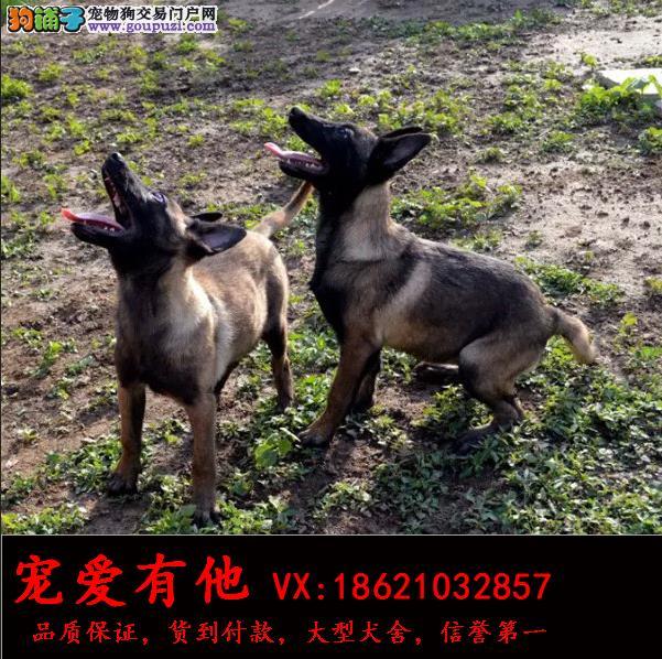 纯种马犬幼犬出售种公外配