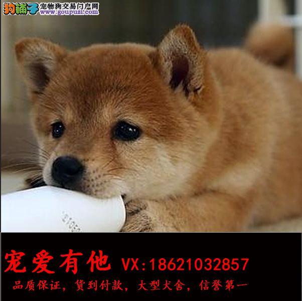 纯种日系秋田犬 忠犬八公 保纯种健康 欢迎上门