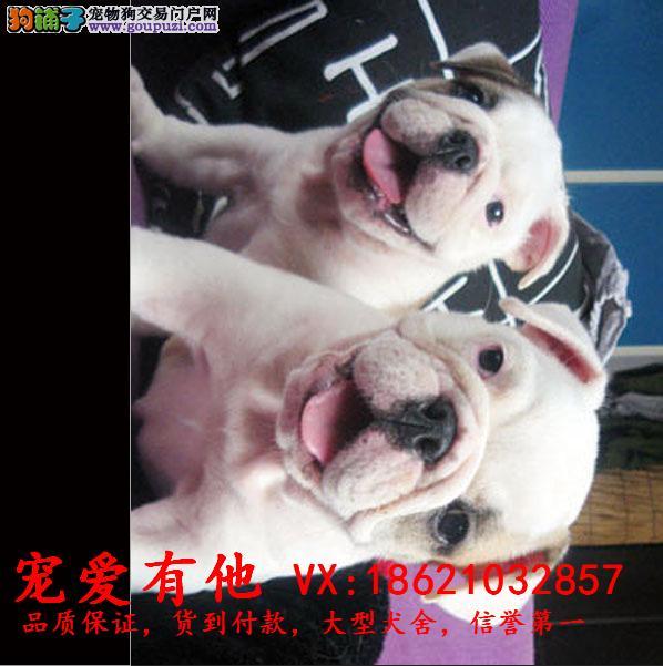 英国斗牛犬,专业繁殖出售赛级双血统英斗幼犬
