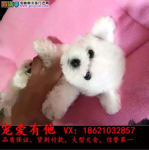 出售泰迪熊幼犬 终生保障 健康纯种 可签质保协