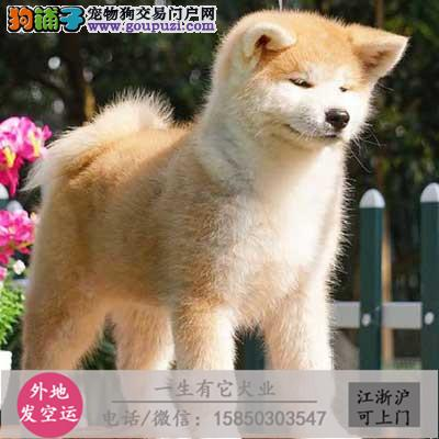 专业繁殖 纯种秋田幼犬可送货上门.签协议保健康