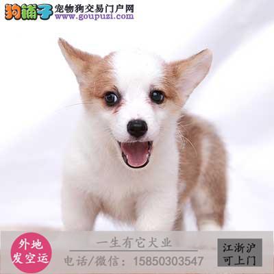 纯种柯基犬繁殖基地出售两色三色柯基宝宝