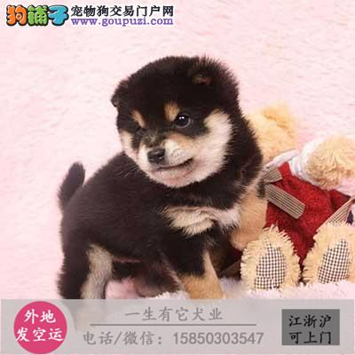 精品柴犬幼犬出售 实物拍摄 已做疫苗驱虫 可送