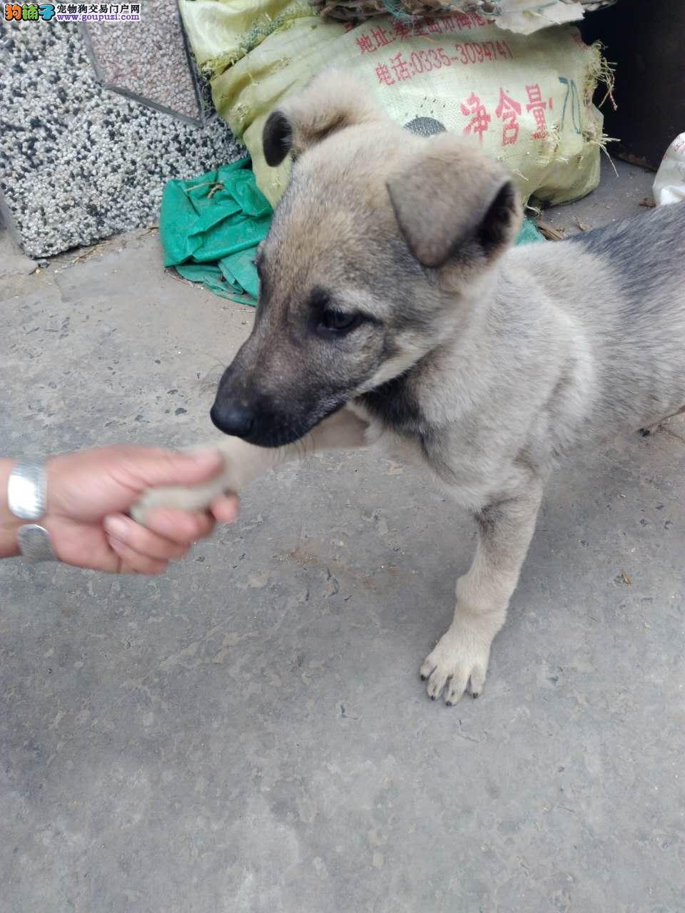 两个月大的纯种狼青幼犬
