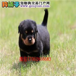 成都罗威纳防暴犬哪里有罗威纳犬舍 罗威纳图片