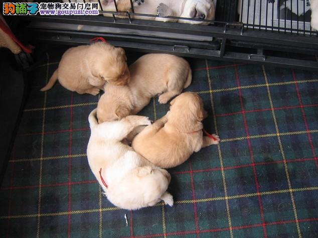 长春狗场出售拉布拉多 纯种拉布拉多价格 拉布拉多图片