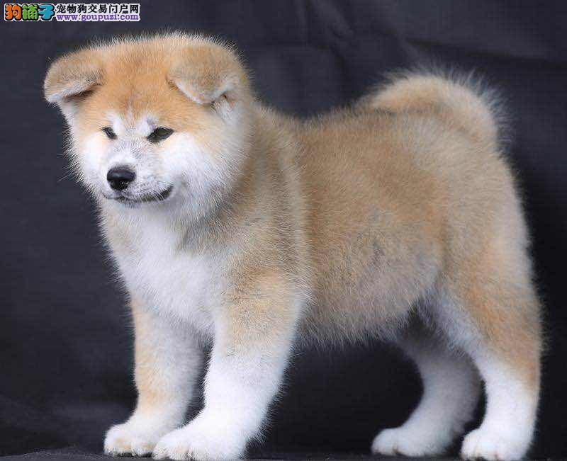 长春狗场出售秋田犬 纯种秋田犬价格 日系秋田犬图片