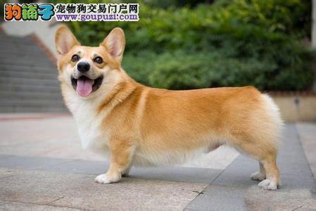 北京华升犬舍专业繁殖柯基幼犬 柯基哪里买保健康
