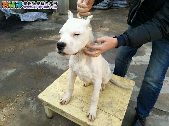 杜高幼犬纯种幼崽宝宝出售,毛色纯正,品相好,保健康