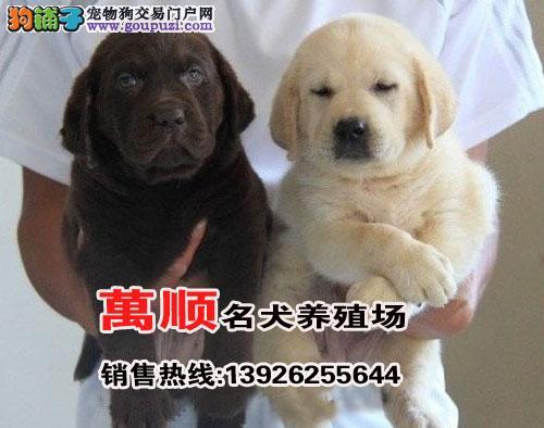 纯种拉多幼犬、先检测健康再购买、饲养有问题可换