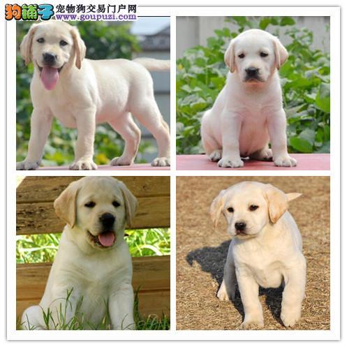 出售纯种拉布拉多幼犬 健康保证 信誉保证 诚信保证