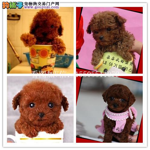 吉林出售纯种套的幼犬 健康保证 信誉保证 诚信保证