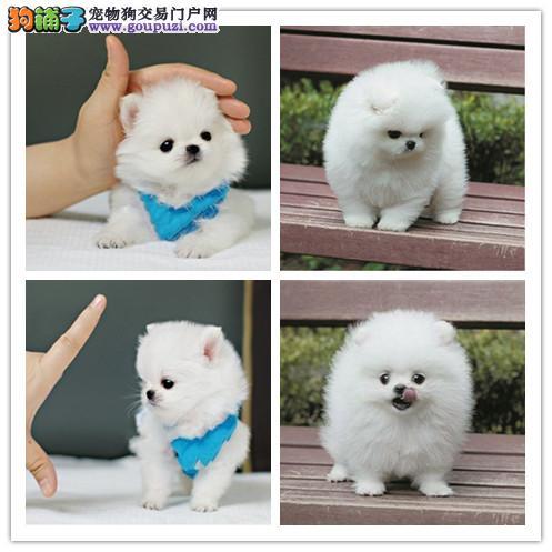 吉林出售纯种博美幼犬 健康保证 信誉保证 诚信保证