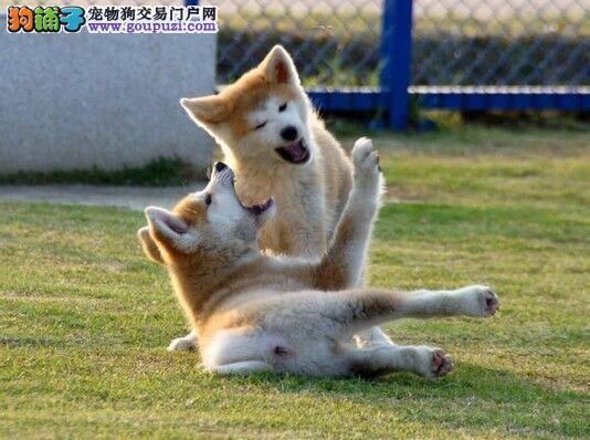 专业繁殖基地预售小忠犬秋田可签订品种优良送用品