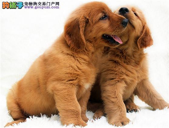 重庆纯种金毛犬直销 包养活包纯种健康 送用品签协议