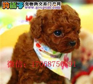 营口泰迪犬出售 小体泰迪 玩具泰迪 营口哪里有卖泰迪