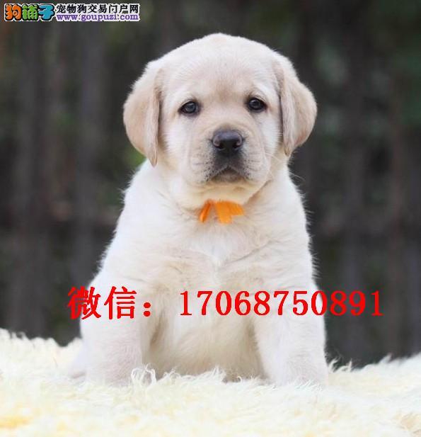 营口哪里有卖拉布拉多 拉布拉多幼犬 拉布拉多多少钱