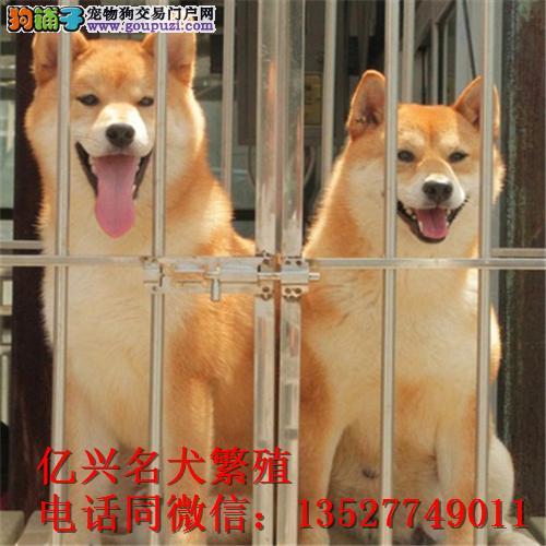 精品日本柴犬,包纯种健康欢迎上门选购,可视频送上门