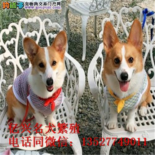 威尔士柯基犬 两色三色 狗场直销包纯种健康养死包换