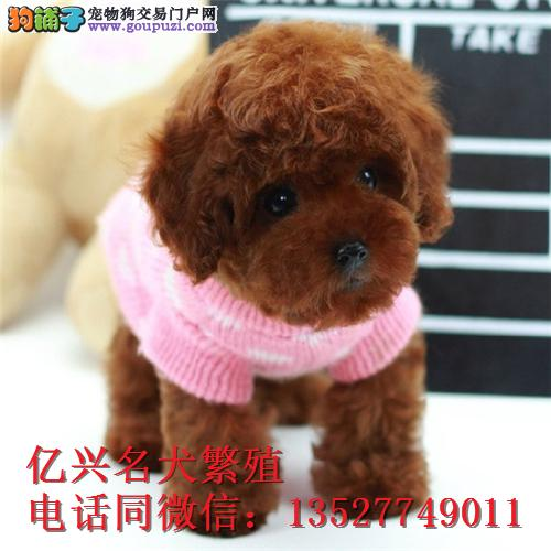 出售各色纯种泰迪幼犬,可上门可视频挑选送狗上门