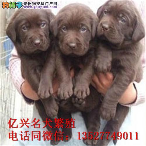 正规犬舍繁殖纯种拉布拉多犬 上门挑选狗狗可送狗上门